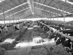What factory farming of dairy cattle looks like...