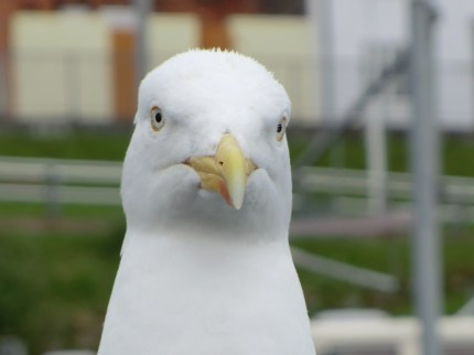 Seagull posing at Scarborough sea front.