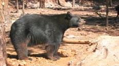350 pound Black Bear