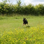 Running through buttercups at Shipley Country park.
