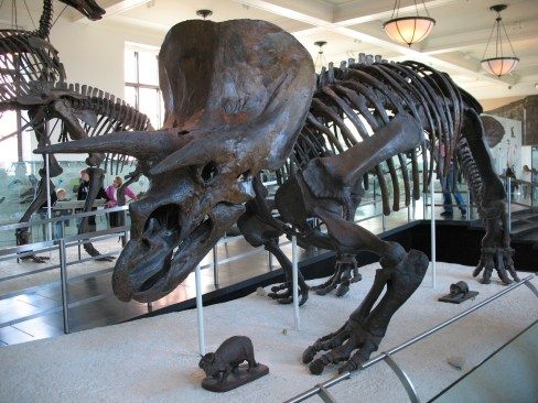 Triceratops at the American natural History Museum