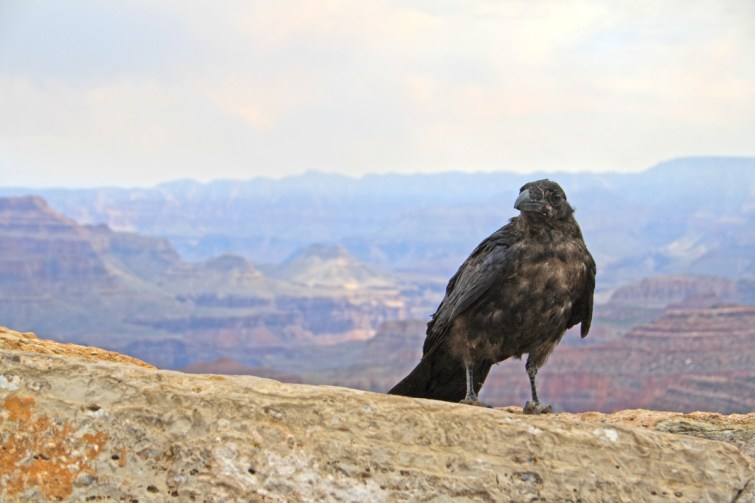 grand-canyon-bird