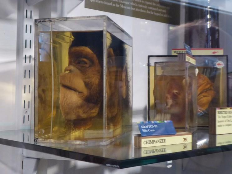 Bisected monkey head