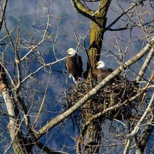 Bald eagles near Hunter Mountain