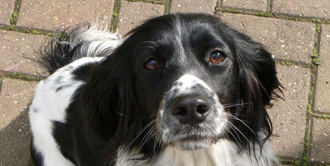 Bailey Litten the Springer Spaniel