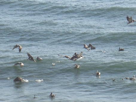 pelicansdb