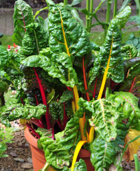 Swiss Chard Container