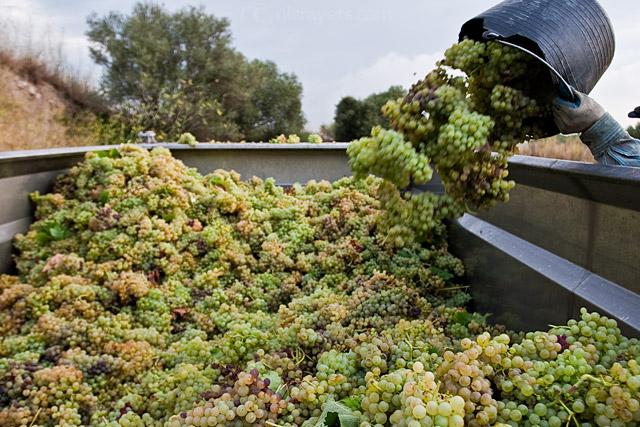 Grape Harvest in the Penedès wine region of Spain. August 2009. Image 01