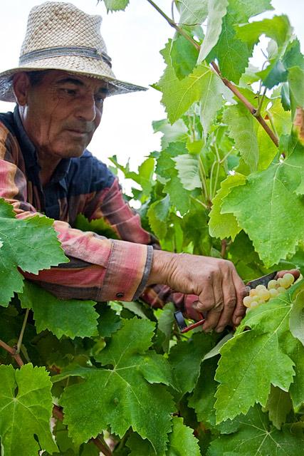 Grape Harvest in the Penedès wine region of Spain. August 2009. Image 05