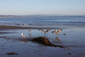 california-beach-and-sea-with-birds