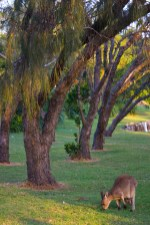 Kangaroos at Trial Bay Campground, NSW, Australia