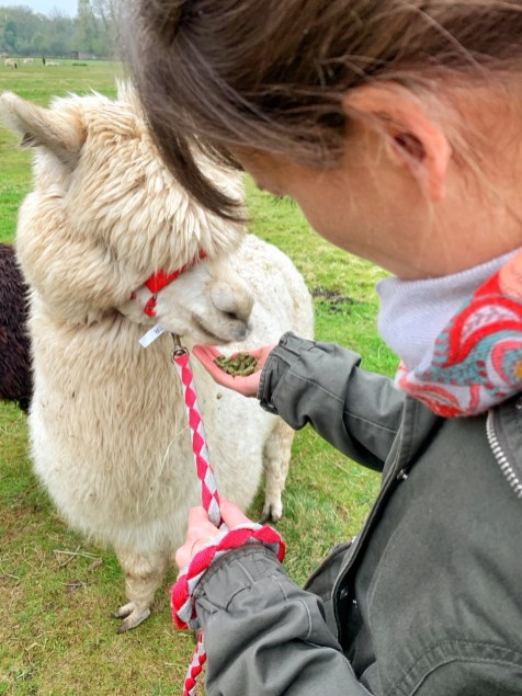 Giving my alpaca Walter a snack while on a morning alpaca walk with Hensting Alpacas.