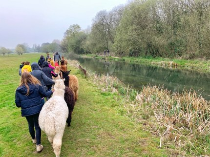 Walking with alapacs along the River Itchen