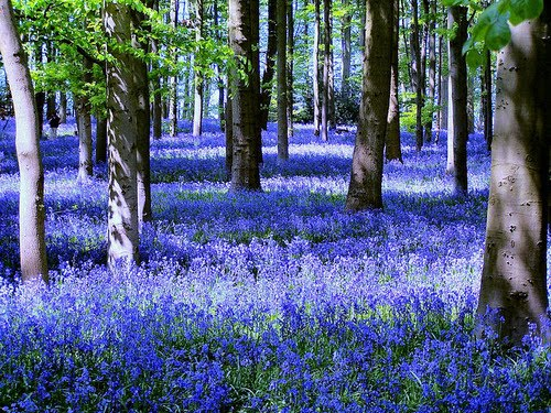 Bluebell Forest, Coton Manor, England