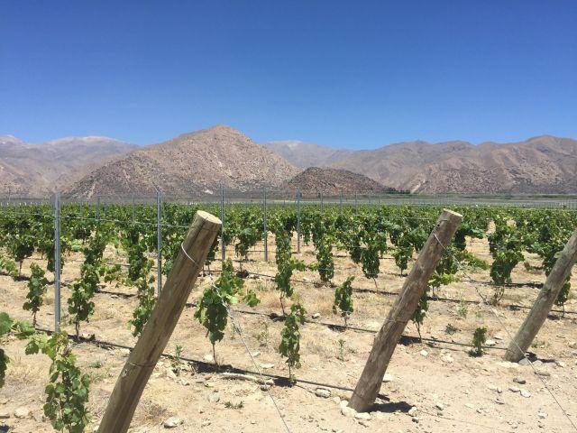 Algunas viñas de Finca El Socorro (El Esteco)