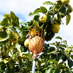 Harvesting quince with picking poles