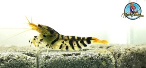 Caridina type Tiger