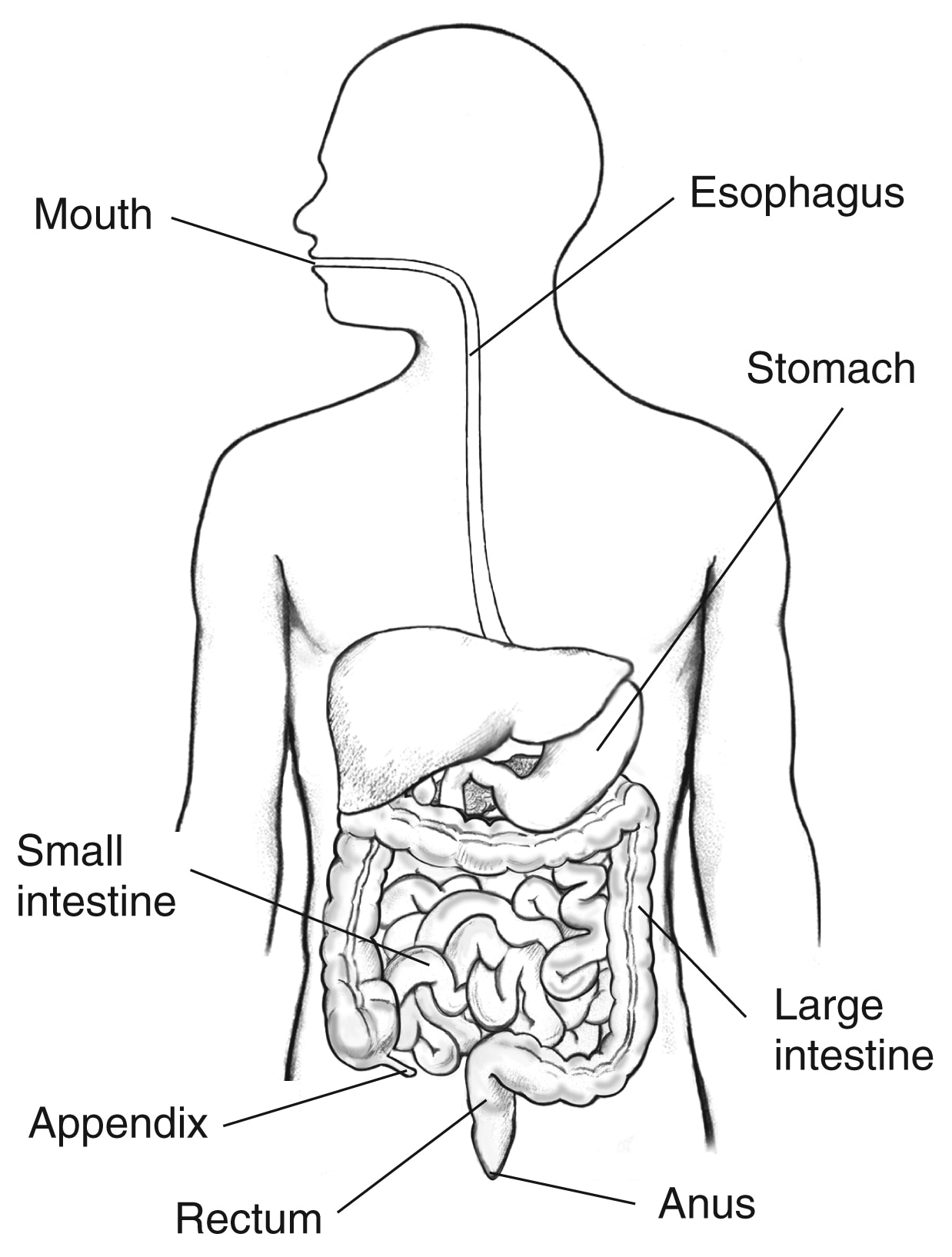 Digestive Tract With Labels For Mouth Esophagus Stomach