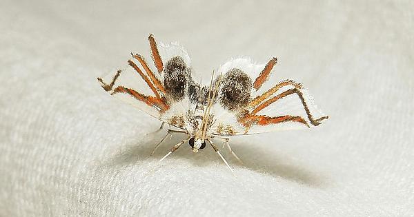 Ćma udająca pająka, czyli Siamusotima aranea