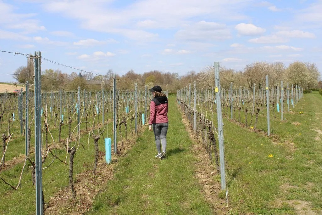 Wijnwandeling Limburg: Wijngaard St. Martinus