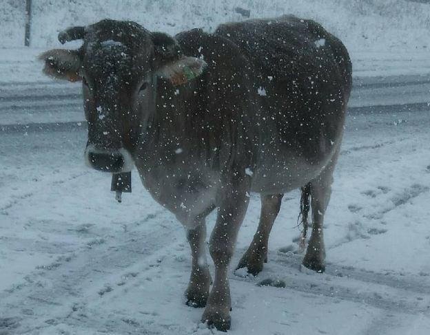 El elemento blanco sorprende hasta las vacas