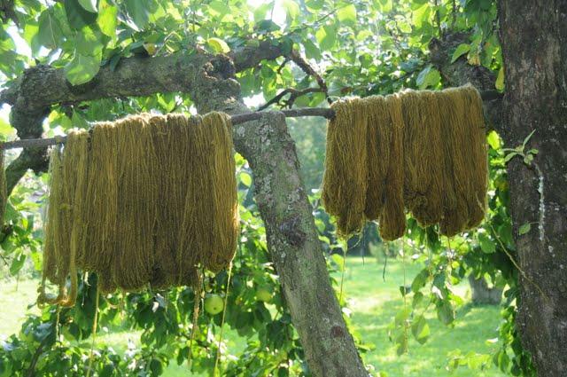 wełna farbowana orzechem - w trakcie suszenia i  utleniania barwnika