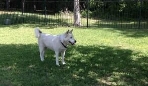 Sidnei, Siberian Husky, posing
