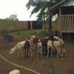 Goat Farming Business Plan In Nigeria