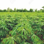 Cassava farming And Processing Business Plan In Nigeria