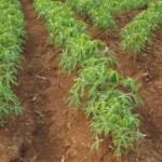 How To Start Cassava Farming In Nigeria
