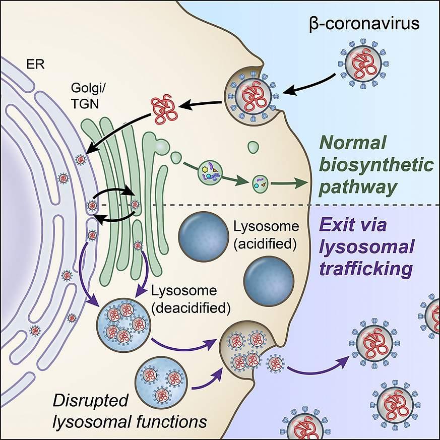 Illustration of lysosome exocytosis pathway