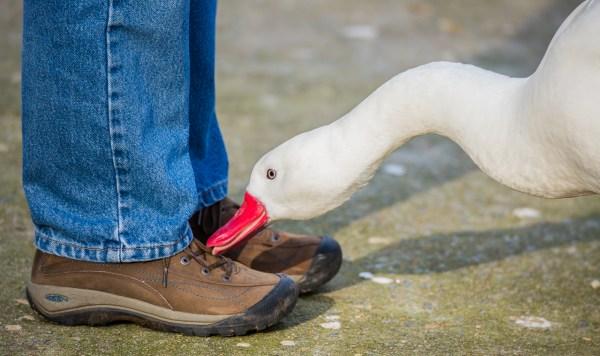 Advanced~John Norvell~Angry Goose