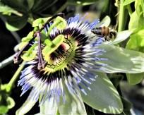 co41novicebee_on_pasion_fruit_flower70