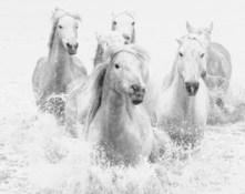 Six Horses of Camargue