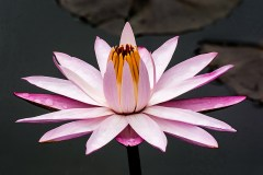 Kenilworth Water Lily 1