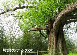 片倉のナシの木の写真