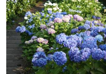 あじさいロードの紫陽花の写真
