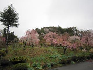 みしま桜の里の写真1