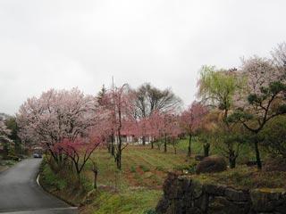 みしま桜の里の写真6