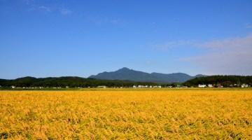 柿崎地域、収穫を待つ田んぼ