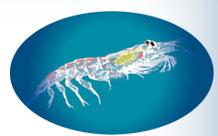 オメガ3クリルは南極海域のオキアミが原料です