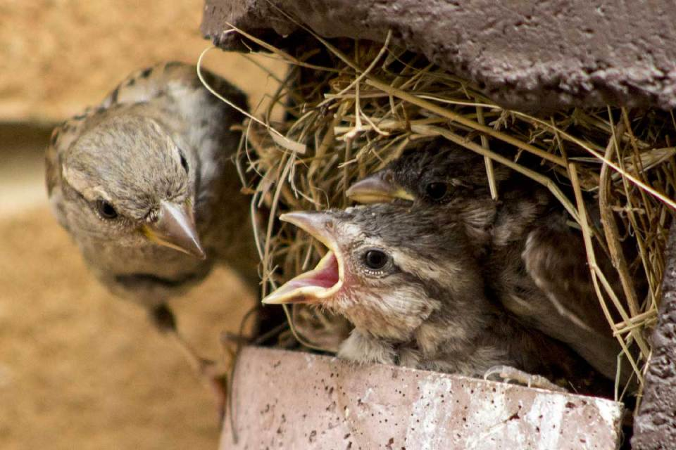 Baby sparrows being fed by their mother