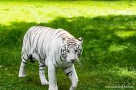 Weißer Tiger beim Ausgang