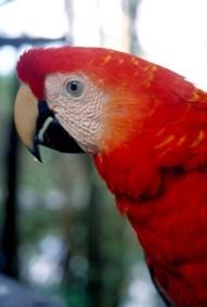アマゾン森林に生息するコンゴウインコ (Foto:Embratur)