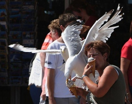 Seagull-stealing-Ice-Cream
