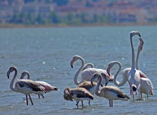 flamingo,Ναύπλιο