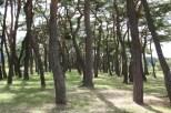 Pinienwald in Hahoemaeul