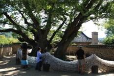 Der über 600 Jahre alte, von der Göttin Samsin bewohnte Baum