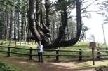 Octopus Tree bei Cape Meares