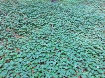 Finde das vierblättrige Kleeblatt!